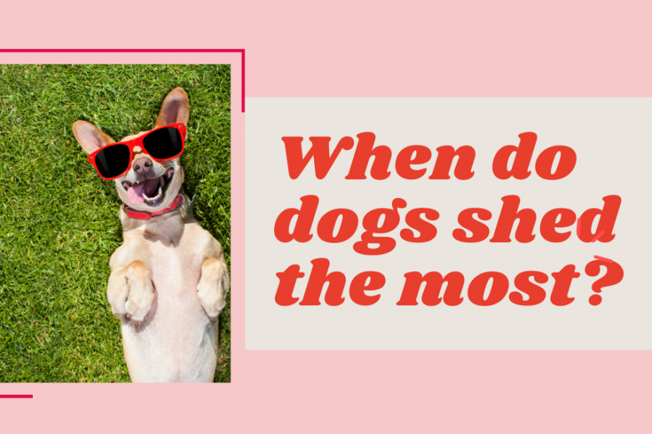 when do dog shed the most?